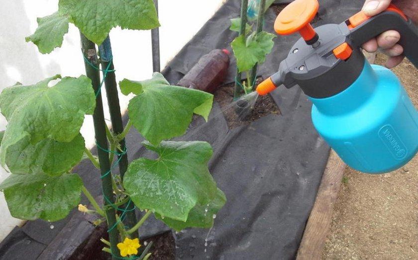 Возможные трудности выращивания сорта