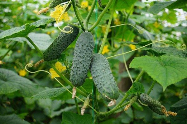 Огурец Меренга f1: описание сорта и особенности выращивания