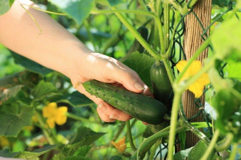 Сколько и как растут огурцы в теплице