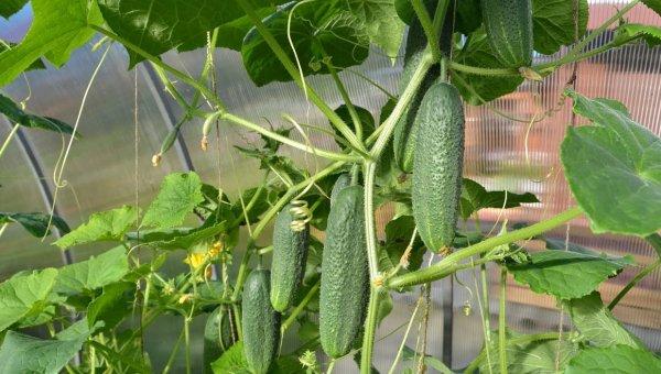 Как продлить плодоношение огурцов до осени - Огород, сад, балкон