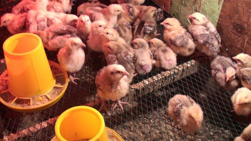 Орловские цыплята