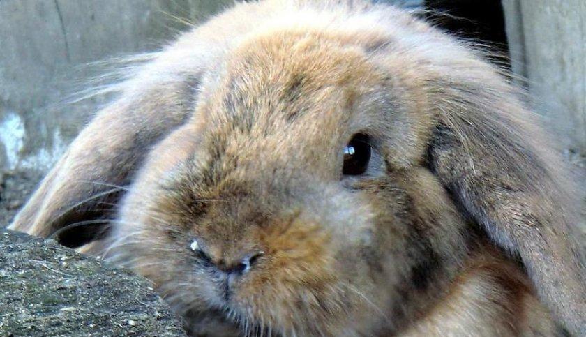 Пастереллёз кроликов