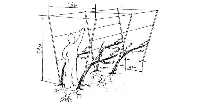 Схема подвязки на двухплоскостную шпалеру