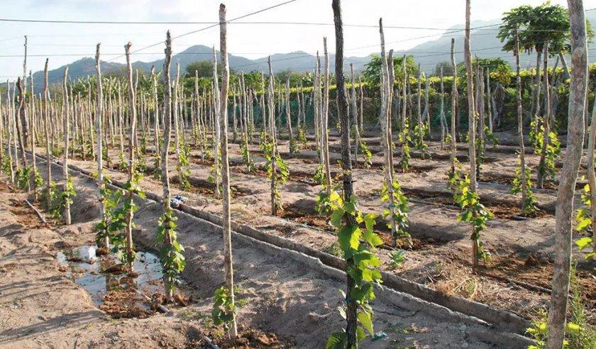 Подвязка молодого винограда
