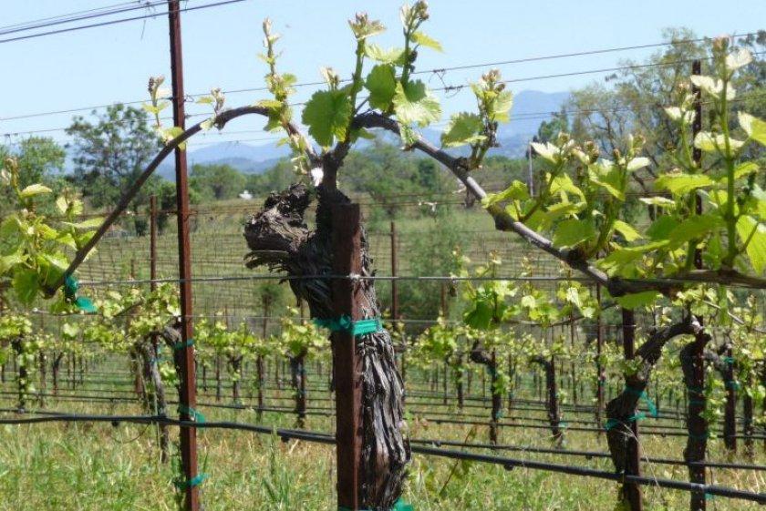 Подвязка взрослого винограда