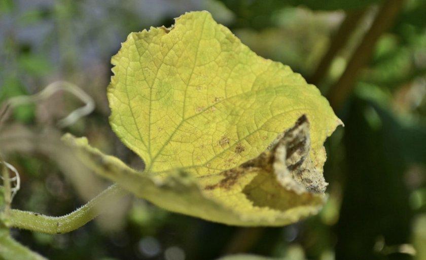Желтеют листья у огурцов