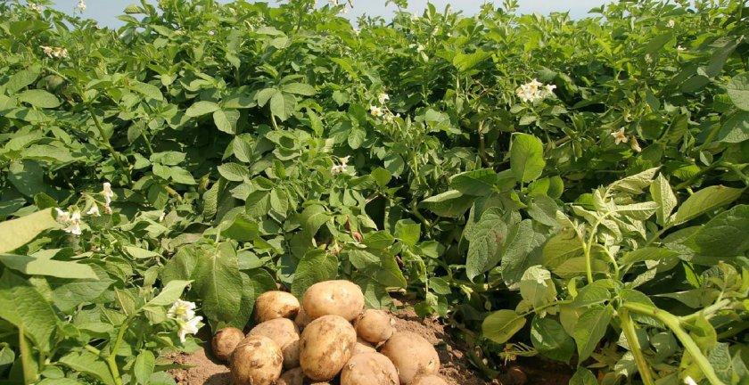 Большая ботва у картофеля