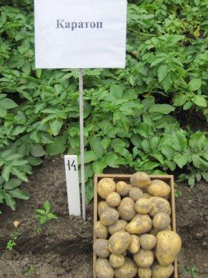 Картофель сорта каратоп