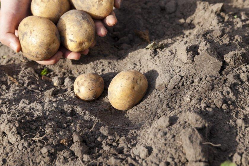 Правила севооборота картофеля каратоп