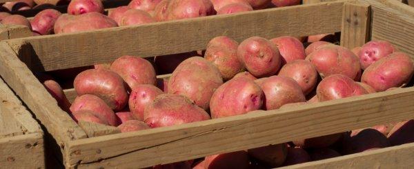 Оптимальная температура хранения картофеля в погребе