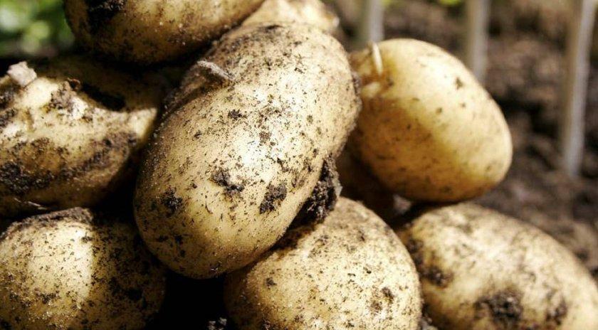 Сорт картофеля атлант