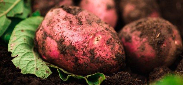 Картофель сорта Беллароза: описание с характеристикой и отзывами