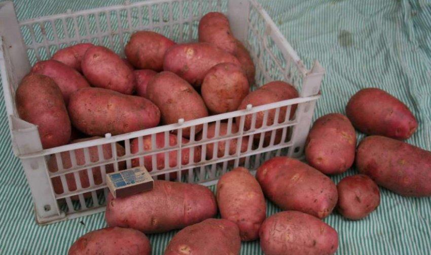 Пластиковый ящик с урожаем картошки