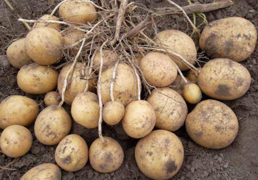 Картофель сорта каприз