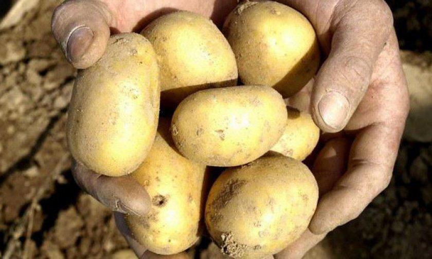 Картофель сорта лазурит