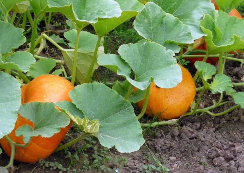 Ботаническое описание тыквы