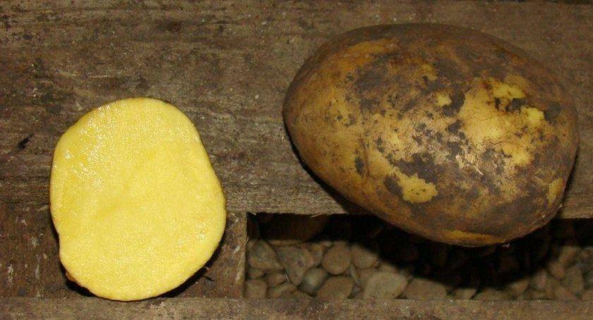 Картофель сорта дубрава