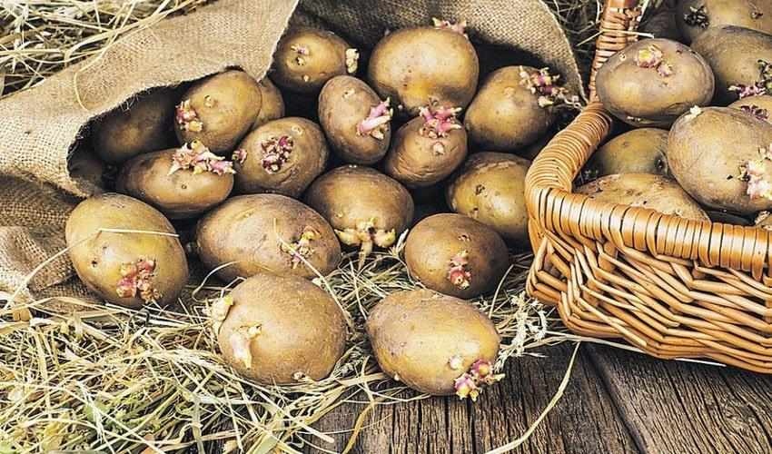 Выращивание картофеля в ящике