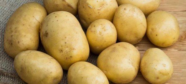 Картофель «Голубизна»: описание, характеристика и особенности выращивания сорта