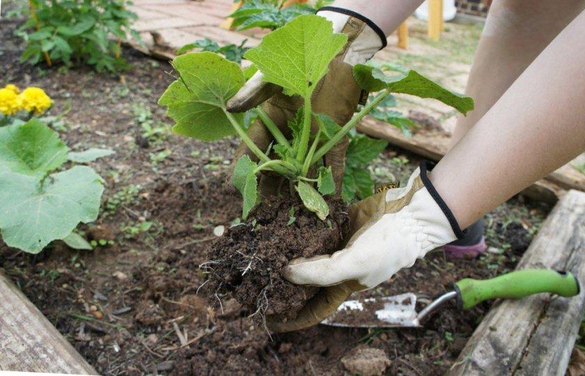Основные принципы выращивания тыквы