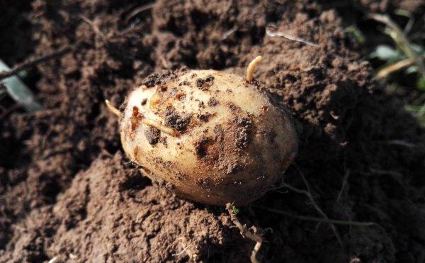 Проволочник в картошке как выглядит