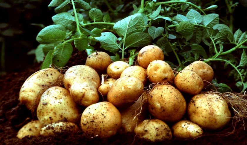 Клубень картофеля