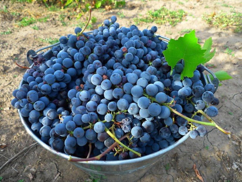 Как выбрать виноград изабелла при самостоятельном сборе