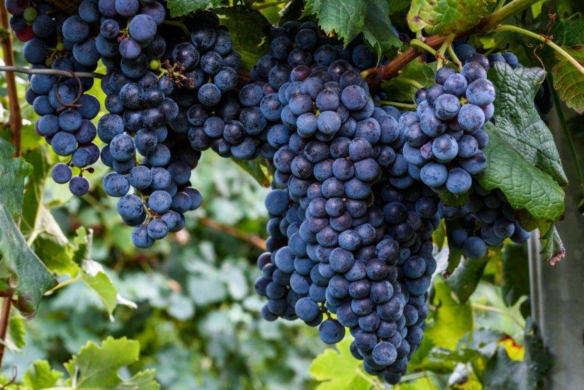 Как выбрать виноград изабелла при покупке