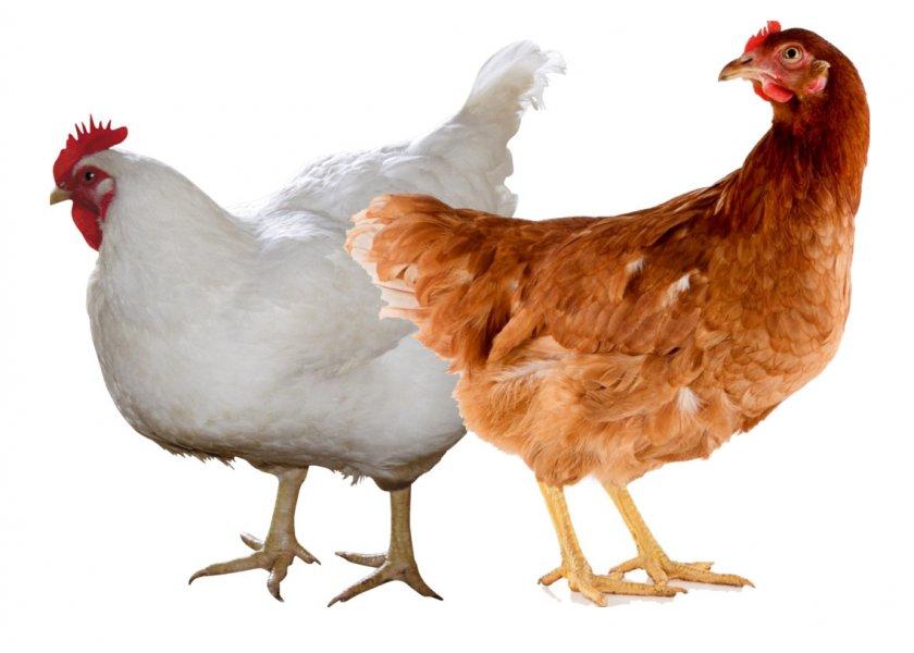 Курицы породы хайсекс
