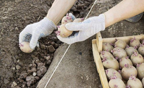 Что хорошо растет после картошки