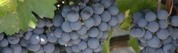 Как сварить джем из винограда изабелла