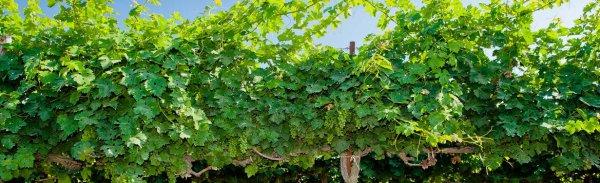 Северная формировка винограда