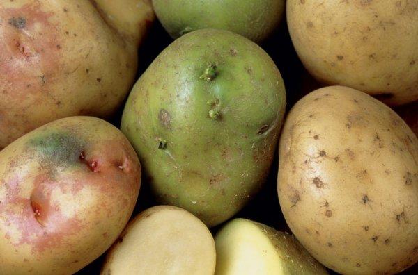 Зелный клубень картофеля