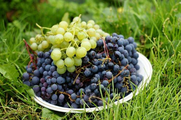 Посадка винограда в теплицу в сибири