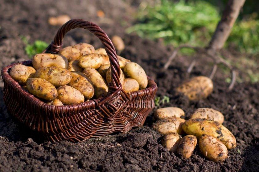 Правила севооборота картофеля