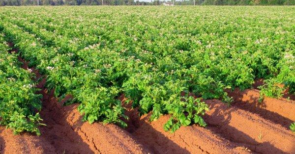 Что сыпать в лунку при посадке картофеля