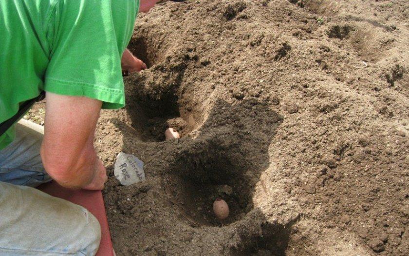Чем удобрять картофель перед посадкой в лунку