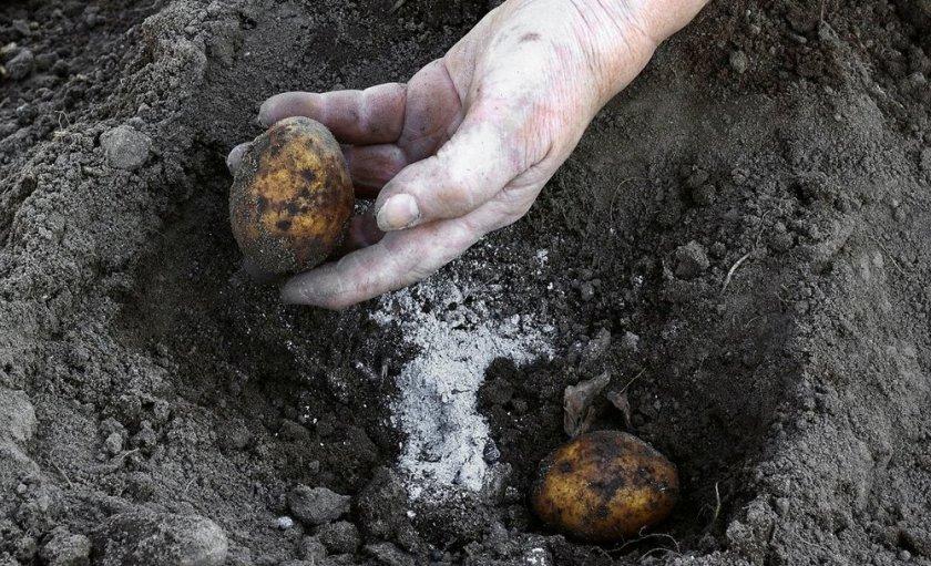 Удобрение картофеля древесным пеплом