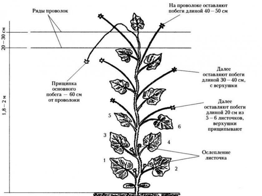 Схема формирования огурцов в теплице