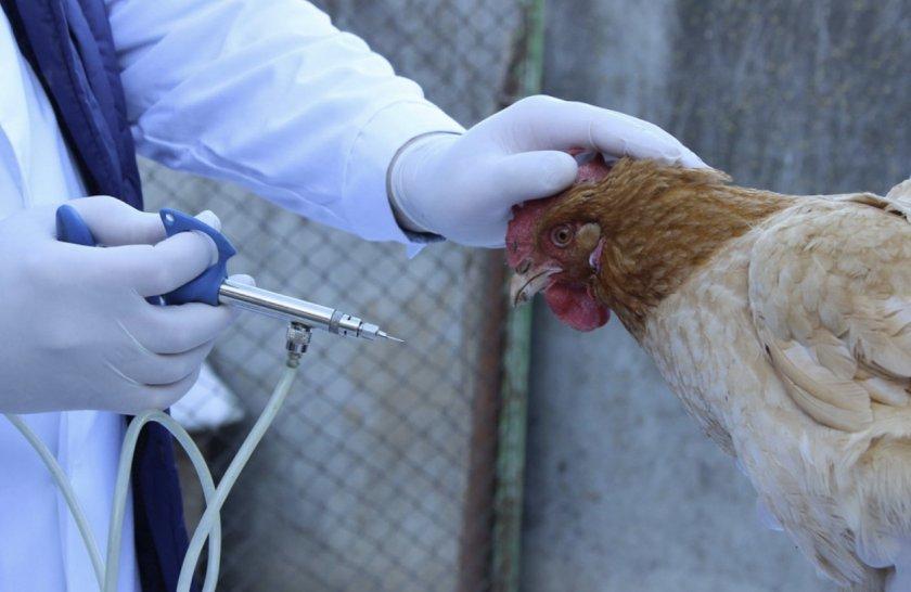 Вакцинация кур