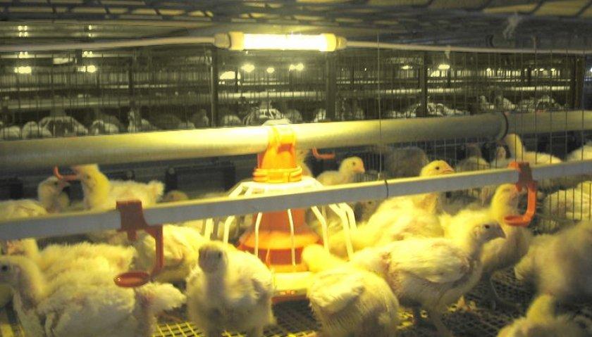Люминесцентное освещение для цыплят