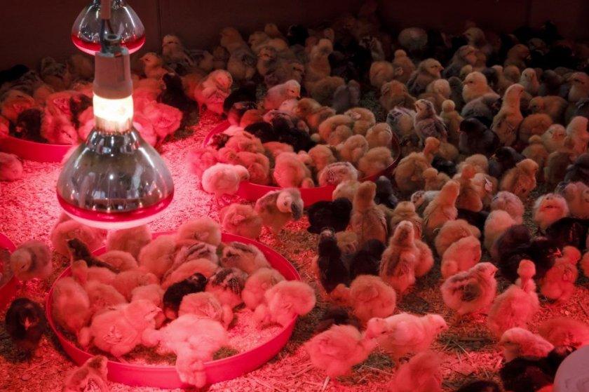 Цыплята под инфракрасной лампой