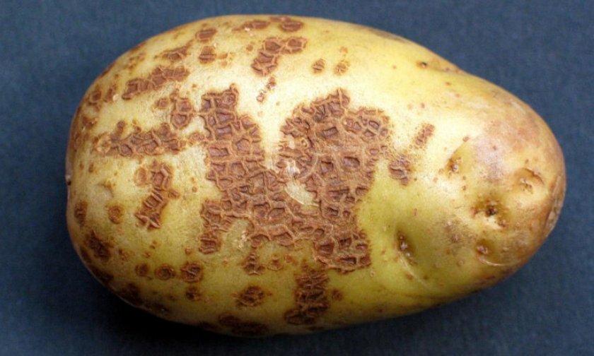 Картофельная парша