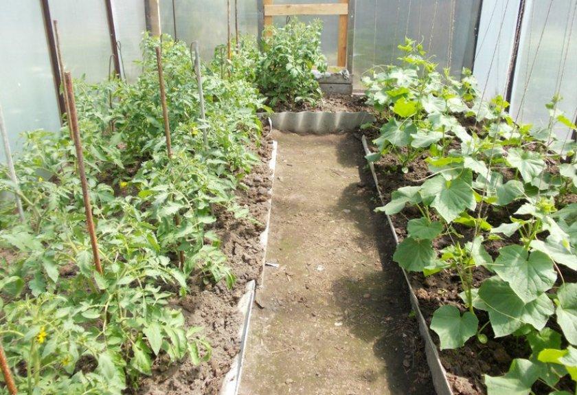 Посадка огурцов и томатов в одну теплицу