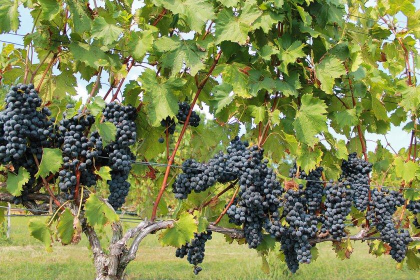 Для чего нужно обрабатывать виноград весной