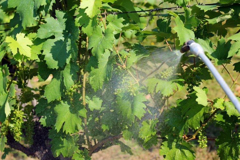 Обработка винограда биологическими веществами