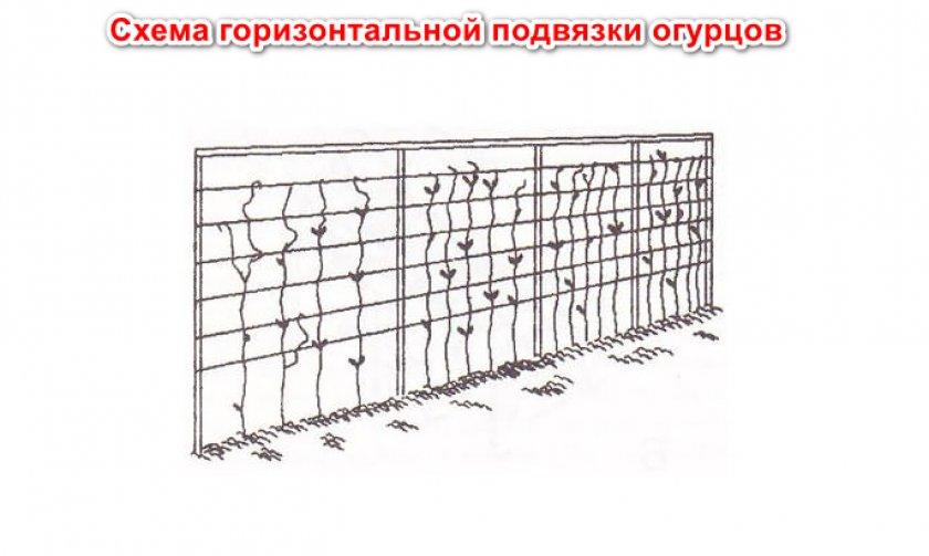 Схема горизонтальной подвязки огурцов