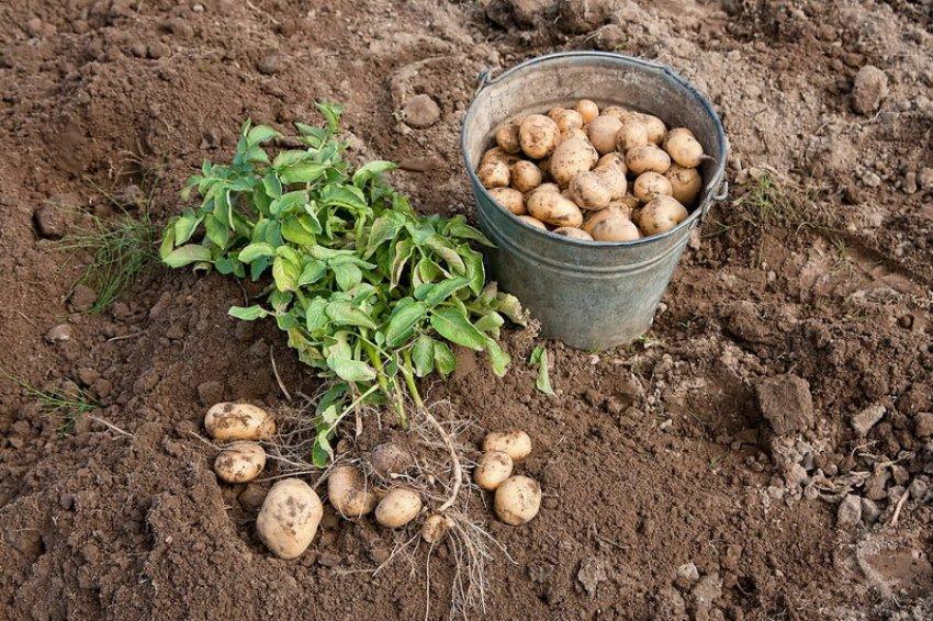 Особенности сбора урожая
