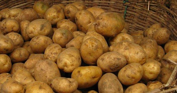 Картофель Коломбо: описание и характеристика сорта, достоинства, фото и отзывы