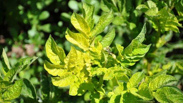 Почему желтеют листья у картофеля снизу что делать и как лечить